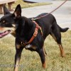 taz top attach 0135 - Connected Control™ Harness: a Leather no-pull dog walking harness (2-point, front-clip design)