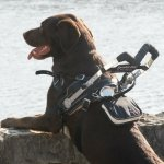 albin alex and axel 2 - Service Dogs in Action