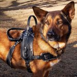 bah cora - Service Dogs in Action