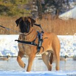 beau herhold giant msh - Service Dogs in Action