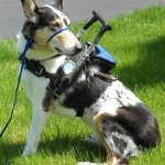 billy azevedo sitting - Service Dogs in Action