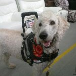 buddy griffin msh uk - Service Dogs in Action