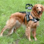 copy 0 guide handle on bradly bossolli 2 - Service Dogs in Action