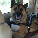 diamond oberon msh in car - Service Dogs in Action