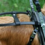 guide handle on bradly bossolli 1 - Service Dogs in Action