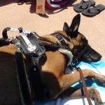 jami kranz sleeping - Service Dogs in Action