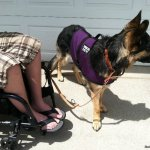 med length relaxed - Service Dogs in Action