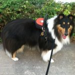 pancho buboltz collie - Service Dogs in Action