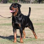 stuart mcfarlands rottie tito - Happy Customers