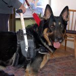 xl on gsd - Service Dogs in Action