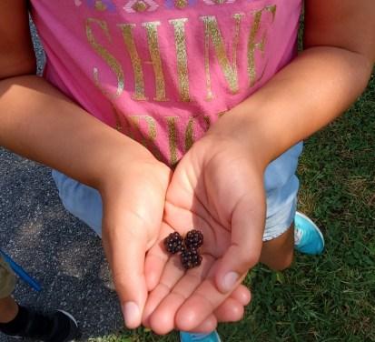 wild blackberries in hands
