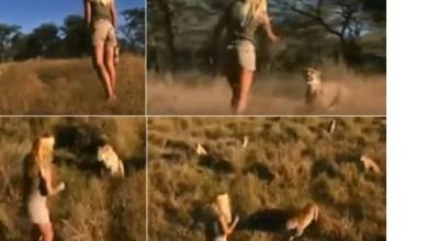 Photo of شاهد الفيديو : فتاة تواجه بمفردها 10 نمور في غابة