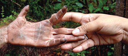 Orangutan and Human Hands