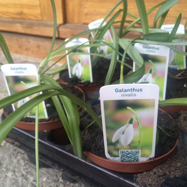 Primera planta: Galanthus nivalis 2016001