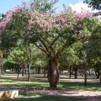 Toborochi: the Story of the Pregnant Tree ***  Opowieść o pijanym drzewie