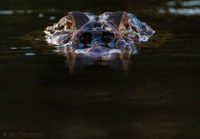 Sort kaiman - Amazonas største krokodille