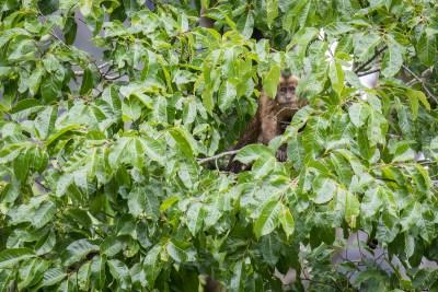 kapucinerabe