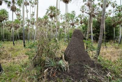 Mange palmer vokser kun i tørskove