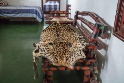 Mange jaguarer bliver fortsat skudt