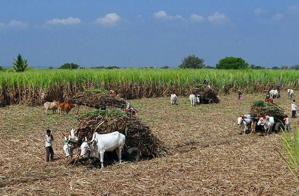 Cultivo de caña de azúcar - Foto: Bolivia Turística