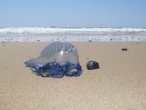 ubur-ubur yang ditemukan di pinggir pantai