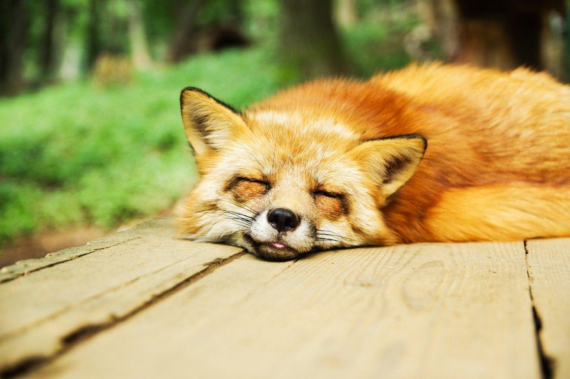 rubah tertidur dengan ekspresi lucu