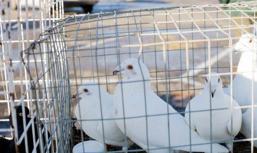 burung merpati di dalam kandang yang sempit