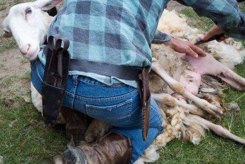 mencukur bulu domba di peternakan