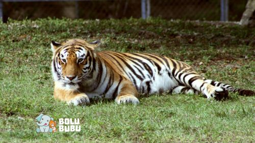 menyelamatkan harimau dari kepunahan