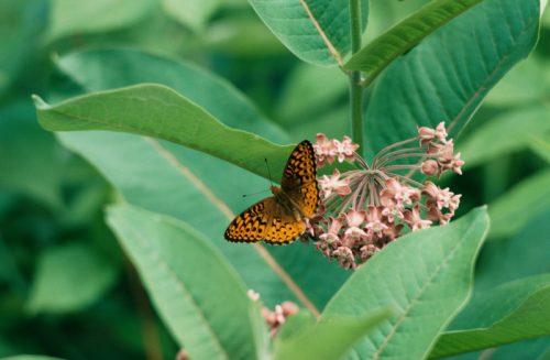 kupu kupu mengisap madu bunga