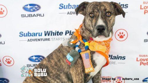 kampanye adopsi anjing difabel subaru