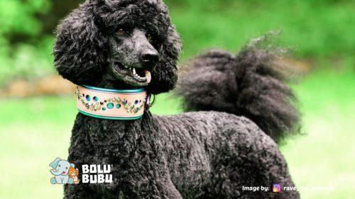 anjing poodle bulu hitam