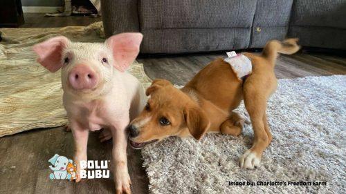anjing dan babi