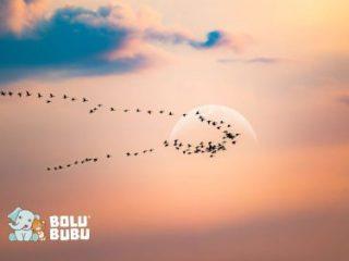 burung bermigrasi
