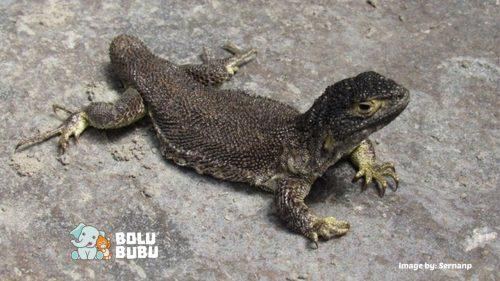 kadal spesies baru di peru