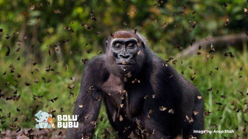 gorila kontes foto