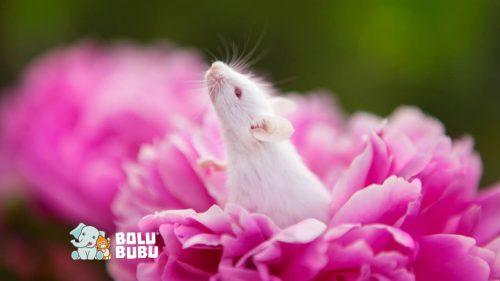tikus uji coba hewan