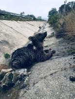 Yaralı haldeyken bulunan yavru ayı telef oldu
