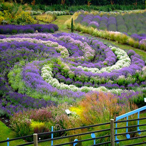 lovely and luscious lavender