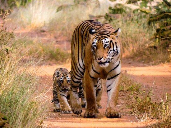 Tiger and his cub at Tadoba National Park