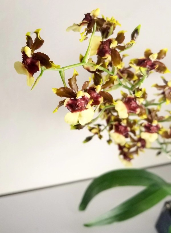 Oncidium Space Race Coco