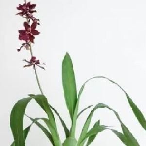 Odontocidium Wildcat 'Bobcat'