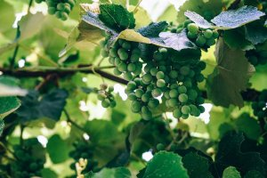grapes, green, fruits