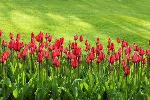 tulips, bloom, blossom