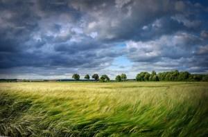grain, cereals, field