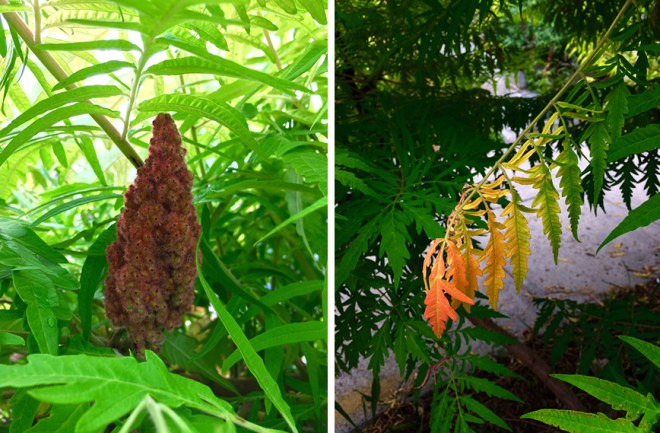 Fruit of the Staghorn, and a preview of the fiery orange and red foliage expected in the fall.