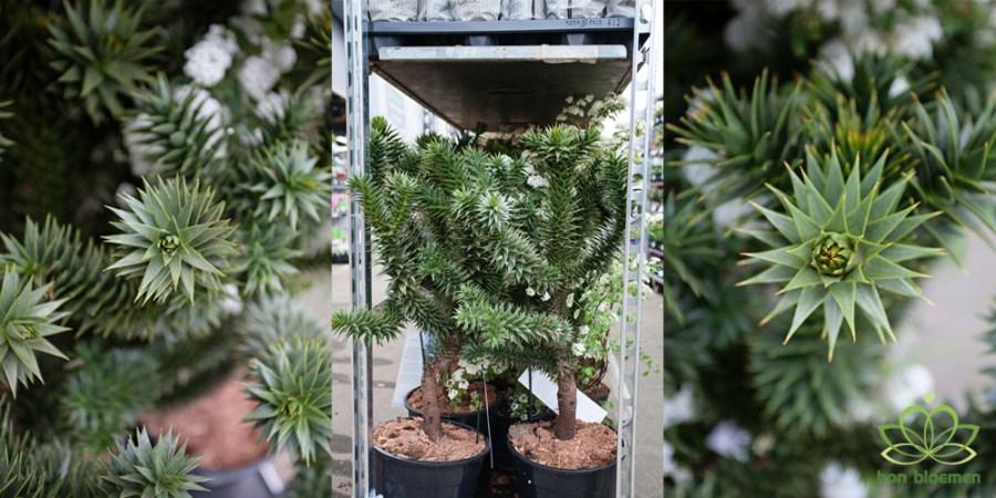 Aaucaria Araucana, Monkey Puzzle Tree