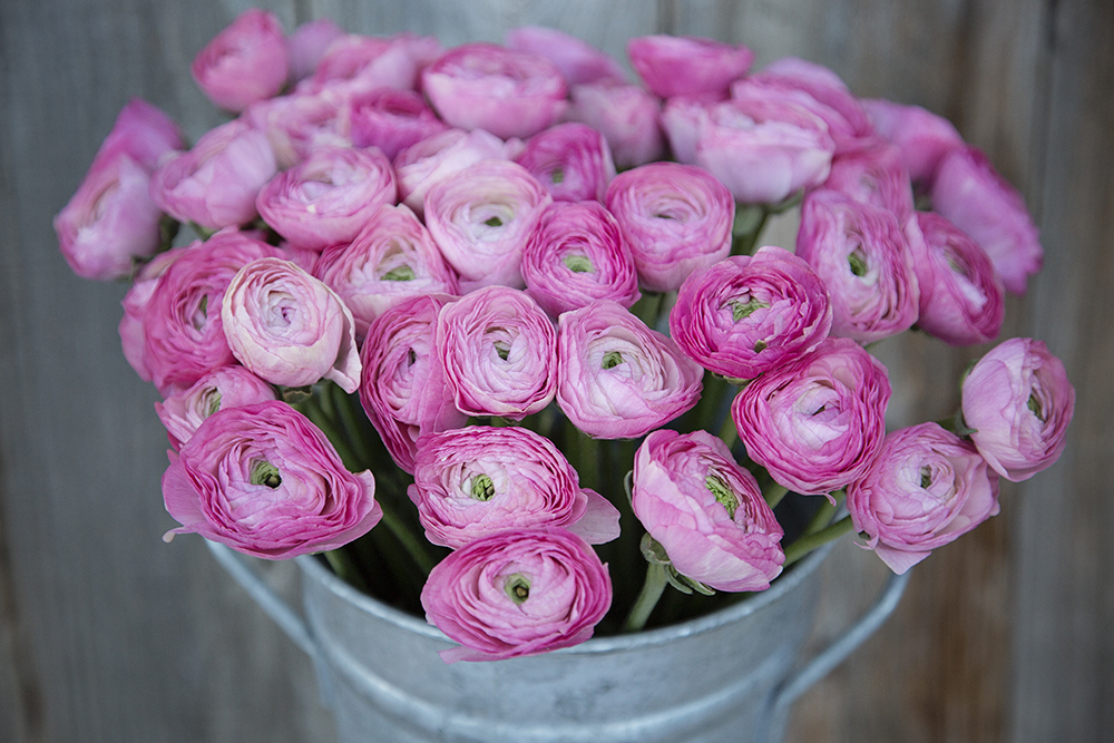 Ranuculus Kloon Pink
