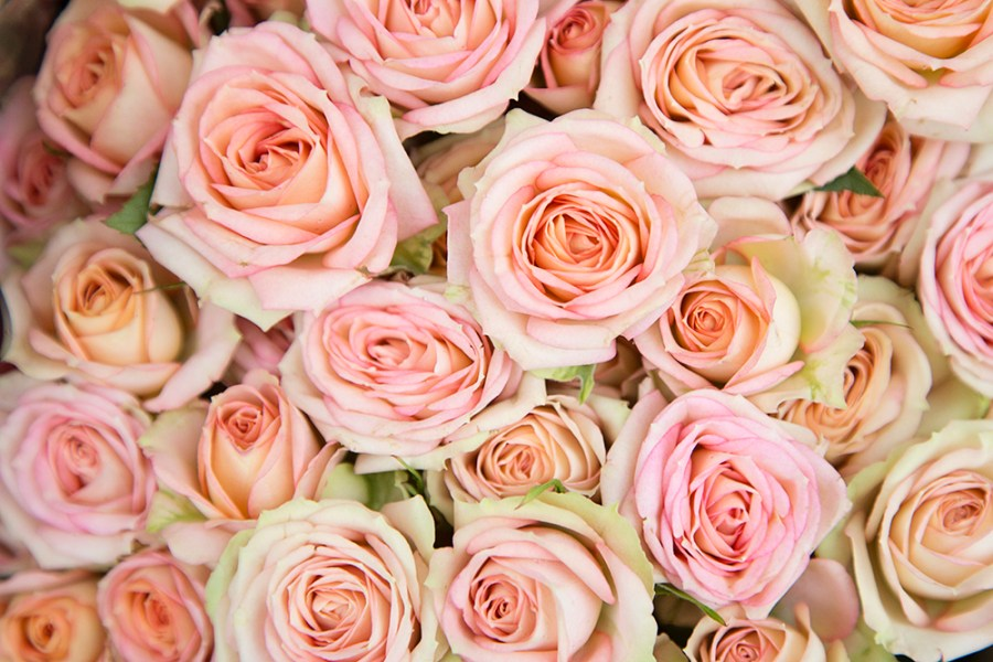 Spray Rose Azore