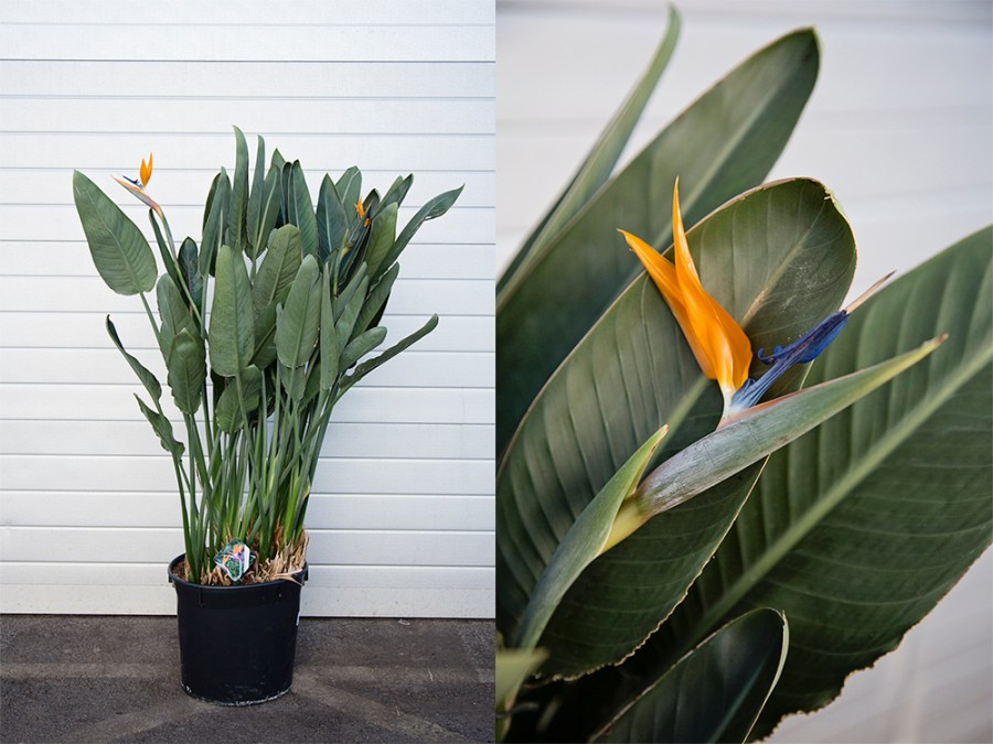 Strelitzia Reginae, Bird of Paradise Plant